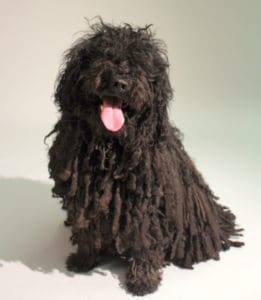 Shadow, the black puli dog, owned by Money In Your Tea author
