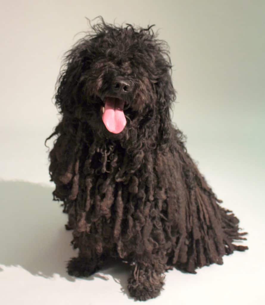 Our black Hungarian puli dog, named Shadow
