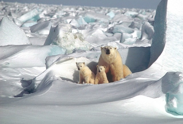 Mother polar bear sitting with two cubs on the snow